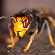 Asian hornet spotted in UK for first time