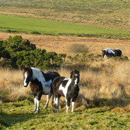 Redwings microchip ponies on Bodmin Moor