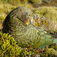 World's only alpine parrot facing extinction