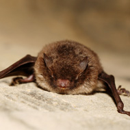 Vets warned over two cases of EBLV-2 in bats