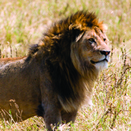 Trophy hunting 'could help to conserve lions' - study
