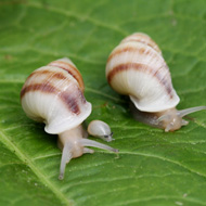 Critically endangered snails reintroduced to wild