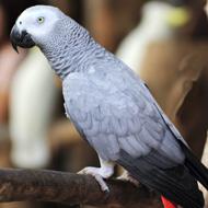 Pet trade 'pushing African greys to extinction'