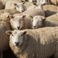 Free trade deal could be 'catastrophic' for sheep farmers