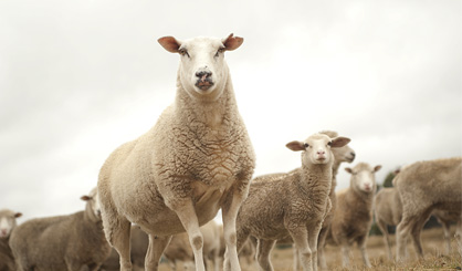 Farmers urged to vaccinate store lambs