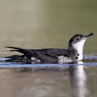 Seabird colonies rebuilt on Scilly