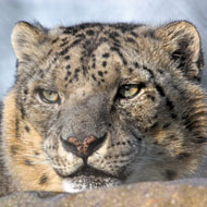 Endangered snow leopards illegally killed in hundreds