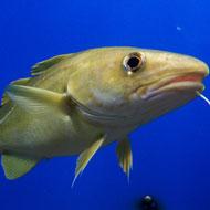 Scientists investigate regional cod accents