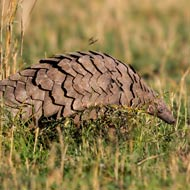 Giant pouch rats to sniff out pangolins