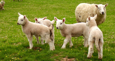 Sheep sector is fragile, report reveals