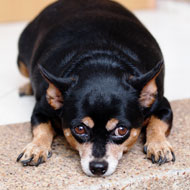 Pet obesity named top welfare concern