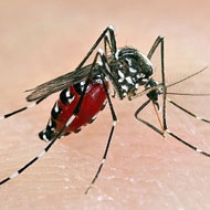 Asian tiger mosquito found in the UK