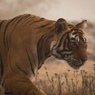 Tigers under threat from infrastructure plans, report finds