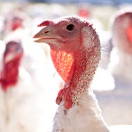 Poultry farmers warned over H5N8 cases