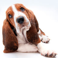 Basset hound reclassified as 'category two' breed