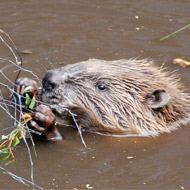 Scotland recognises beaver as a native species