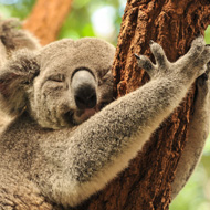 Daylight saving time could save koalas, study suggests