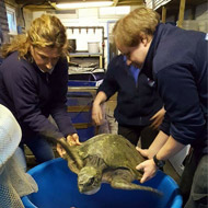 Tropical turtle 'first of its kind' in UK