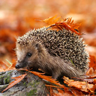 RSPCA reports rise in hedgehog cases