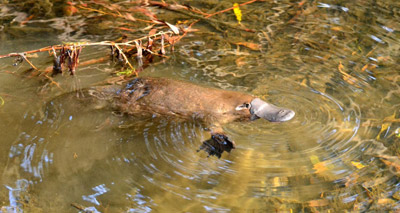 Platypus venom could treat diabetes