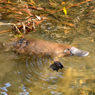 Platypus venom could treat diabetes
