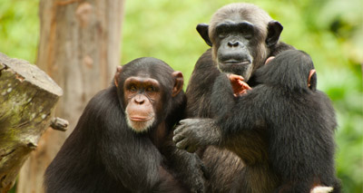 Majority of world's primates face extinction