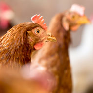 Charity forced to let 12,000 hens go to slaughter