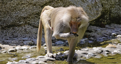 Baboons can make vowel-like sounds, study finds