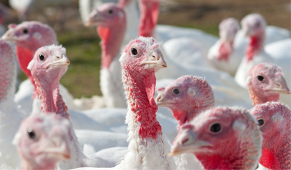 New avian flu outbreak in Lincolnshire