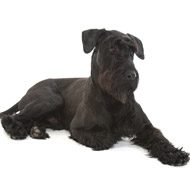 New DNA test for giant schnauzers