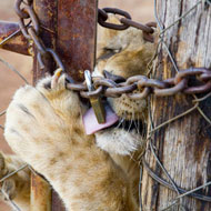 South African export quota 'could threaten wild lions'