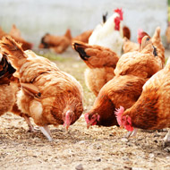 GM hens could help save rare birds - study