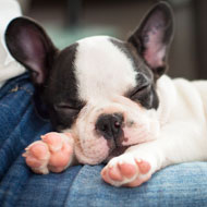 French bulldog set to become 'most popular breed'