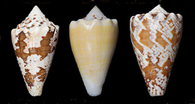 Snail venom could treat chronic pain