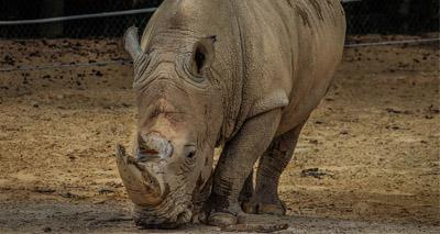 Vaccination halts tumour growth in rhinos