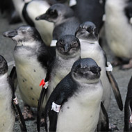 New guidance for hand-rearing penguin chicks