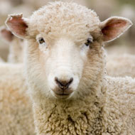Early warning signs of Huntingdon's found in sheep