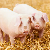 Scientists create pigs resistant to PRRS
