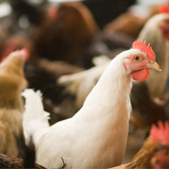 Avian flu suspected in Suffolk