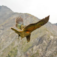 Kea parrot's 'laughter' is infectious, study finds