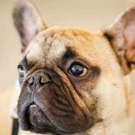 Comic Relief apologises over French bulldog t-shirt