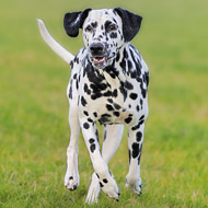 Novel gene explains fatal ARDS in Dalmatians