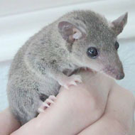 short tailed opossum