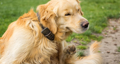 Vets warned against rise in pets with fleas