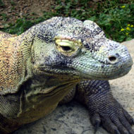 Komodo dragon blood shows promising antimicrobial properties