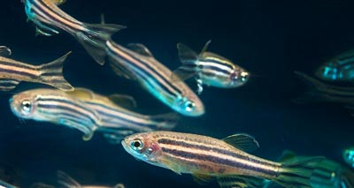Larvae 'could replace use of adult fish in pain research'