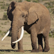 Mat test shows elephants are 'body aware'