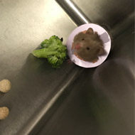 Vets amputate hamster's leg after cooker accident