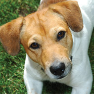 DNA testing schemes for Jack Russell Terriers approved