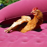 Study ranks chickens sixth most popular pet